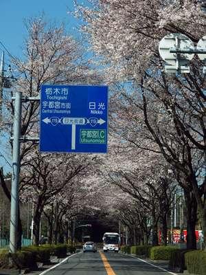 日光街道の周辺の桜並木、三分咲...